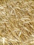Pianta del grano nel campo Fotografie Stock Libere da Diritti