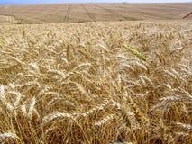 Pianta del grano nel campo Immagini Stock