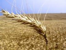 Pianta del grano nel campo Fotografie Stock