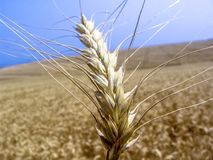 Pianta del grano nel campo Fotografia Stock Libera da Diritti