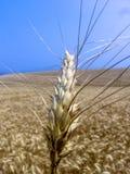 Pianta del grano nel campo Immagine Stock Libera da Diritti