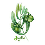 Pianta del jojoba dell'acquerello Fotografie Stock