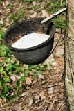 Pianta del lattice dell'albero di gomma Fotografie Stock
