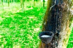 Pianta del lattice dell'albero di gomma. Produzione naturale del lattice in Tailandia Fotografie Stock Libere da Diritti