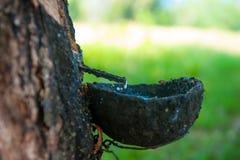 Pianta del lattice dell'albero di gomma. Produzione naturale del lattice in Tailandia Fotografia Stock