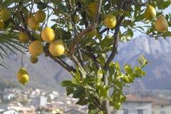 Pianta del limone Fotografie Stock Libere da Diritti