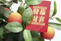 Pianta del mandarino con il pacchetto rosso Fotografie Stock