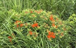 Pianta del milkweed della farfalla con i fiori d'arancio Fotografie Stock Libere da Diritti