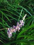Pianta del Muscari del Liriope (Lily Turf) che sboccia nel giardino immagine stock libera da diritti