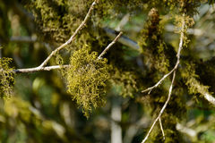 Pianta del muschio in foresta Immagini Stock Libere da Diritti