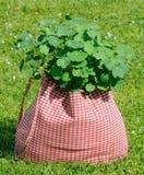 Pianta del nasturzio nel sacchetto su erba verde Fotografia Stock