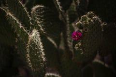 Pianta del Nopal con il fiore Fotografie Stock Libere da Diritti