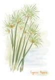 Pianta del papiro. (Papiro del Cyperus) Fotografie Stock