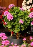 Pianta del pelargonium sul gambo Fotografia Stock