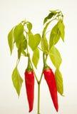 Pianta del pepe di peperoncino rosso rosso Immagini Stock