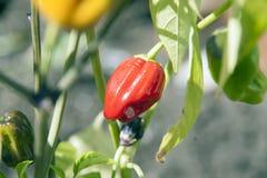 Pianta del pepe rosso Fotografia Stock