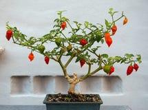 Pianta del peperoncino di Bonchi Fotografia Stock Libera da Diritti