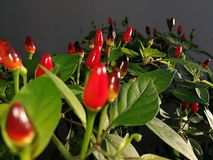 Pianta del peperoncino rosso Fotografie Stock Libere da Diritti