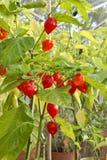 Pianta del peperoncino rosso Fotografia Stock Libera da Diritti