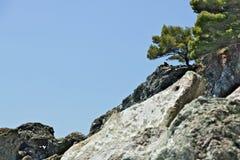 Pianta del pino sulle scogliere del mar Ligure vicino a Cinque Terre In Framura, in Liguria, la vegetazione si sviluppa lentament fotografia stock