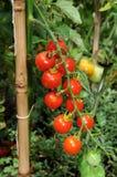 Pianta del pomodoro ciliegia. immagini stock