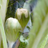Pianta del Primula Fotografia Stock