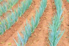 Pianta del raccolto della cipolla Fotografia Stock Libera da Diritti