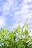 Pianta del Ragweed Fotografia Stock Libera da Diritti