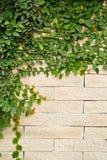 Pianta del rampicante che cresce su un muro di mattoni Fotografie Stock Libere da Diritti
