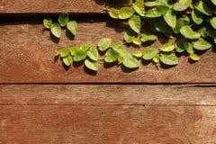 Pianta del rampicante di tridax procumbens su di legno immagini stock