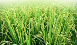 Pianta del risone nel giacimento del riso, Tailandia Fotografia Stock