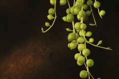 Pianta del rosario fotografia stock