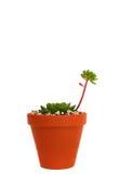 Pianta del succulent di Echeveria Fotografia Stock