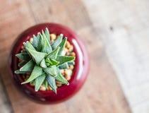Pianta del succulente di Aristata Haworthia dell'aloe Immagine Stock Libera da Diritti