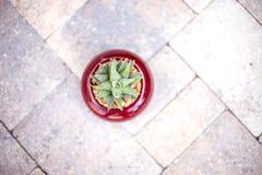 Pianta del succulente di Aristata Haworthia dell'aloe Fotografia Stock