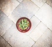 Pianta del succulente di Aristata Haworthia dell'aloe Fotografia Stock Libera da Diritti
