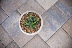 Pianta del succulente di Aristata Haworthia dell'aloe Immagini Stock Libere da Diritti