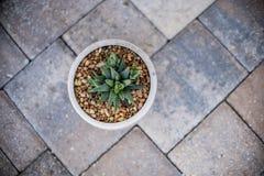 Pianta del succulente di Aristata Haworthia dell'aloe Immagine Stock