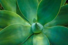 Pianta del succulente di attenuata dell'agave immagine stock