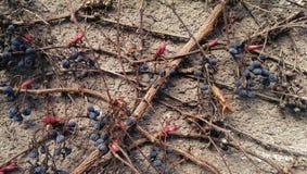 Pianta del viticcio del Parthenocissus immagini stock libere da diritti