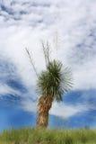 Pianta del Yucca Immagini Stock