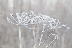 Pianta delicata con la brina il giorno di inverno freddo Immagine Stock Libera da Diritti