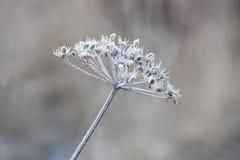Pianta delicata con la brina il giorno di inverno freddo Fotografia Stock