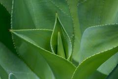 Pianta dell'agave Immagini Stock Libere da Diritti