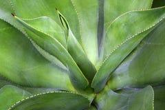 Pianta dell'agave Fotografie Stock