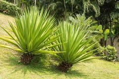 pianta dell'agave Immagine Stock
