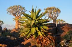 pianta dell'agave Immagini Stock