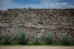 Pianta dell'agave con la parete di pietra Immagine Stock Libera da Diritti