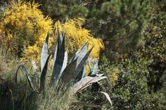 Pianta dell'agave con le foglie coperte di spine Fotografia Stock