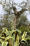Pianta dell'agave e dell'oliva immagine stock
